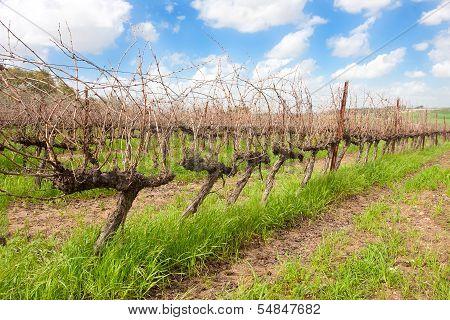 Single Row In A Vineyard
