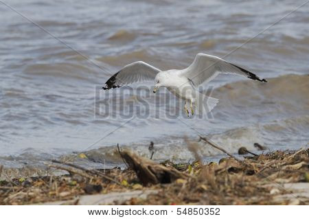 Ring-billed Gull In Flight Looking For Food