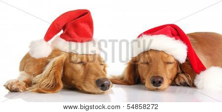 Dachshund wiener dogs sleeping with Santa hats.