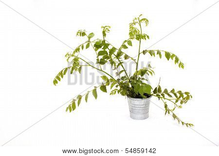 Sprigs Of Young Fresh Curry Leaves In Galvanized Bucket