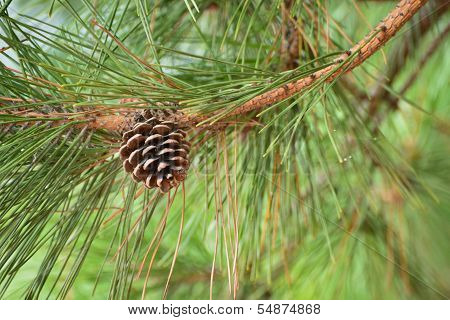 Brown Pine Cone Of Pine Tree