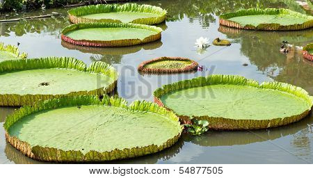 Big Lotus Leaf,victoria Regia Lotus, Majestic Amazon Lily Pads