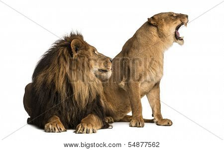 Lion with lioness roaring, next to each other, Panthera leo, isolated on white