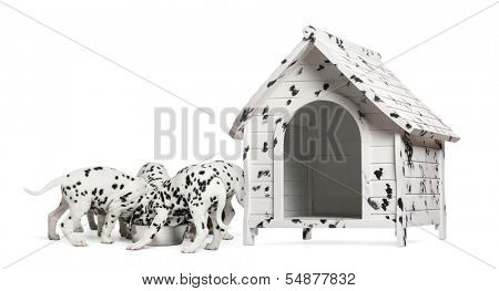 Pack of Dalmatian puppies eating from the same bowl, next to a dog kennel, isolated on white
