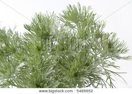 Southern wormwood Artemisia schmidtania on white background