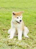 stock photo of akita-inu  - A profile view of a young beautiful white and red Akita Inu puppy dog sitting on the lawn - JPG