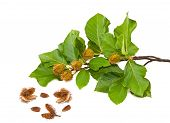 pic of beechnut  - Beech Branch with leaves and seeds isolated - JPG