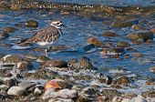foto of killdeer  - Killdeer walking along the shore line at Lake Okanagan - JPG