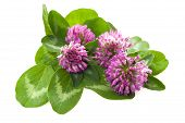 picture of red clover  - Red clover isolated on a White background - JPG