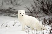 stock photo of arctic fox  - An arctic fox in the snow near Churchill - JPG