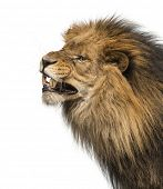 Close-up of a Lion's profile, roaring, Panthera Leo, 10 years old, isolated on white