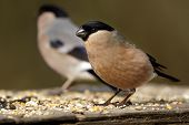 stock photo of rn  - A female Northe.rn Bullfinch (Pyrrhula pyrrhula) feeding on seeds