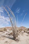 stock photo of ocotillo  - Tall thorny ocotillo cactus standing in barren landscape of California desert - JPG