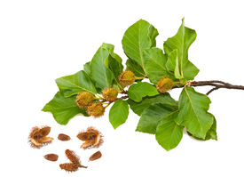 stock photo of beechnut  - Beech Branch with leaves and seeds isolated - JPG