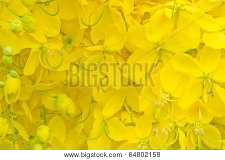 Cassia fistula flower background