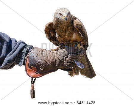 Falconry Isolated
