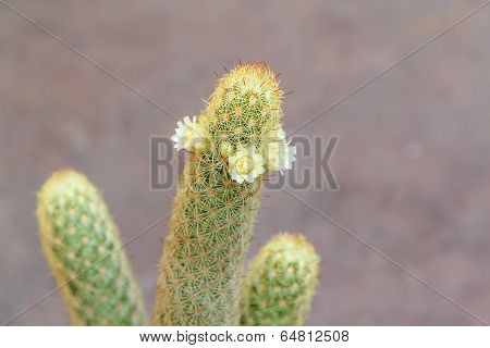 Mammillaria elongate cactus with white flowers in blur background.