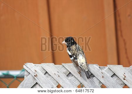 Grosbeak, Rose-breasted on Fence (M)