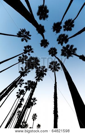 California Palm trees view from below in Santa Barbara US