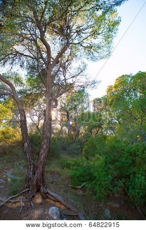 Calderona Sierra pine forest in Serra Naquera of Valencia Spain