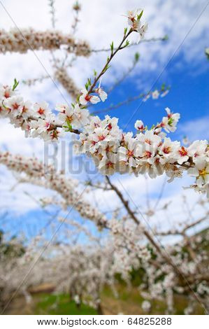 Spring almond tree flowers in Sierra de Espadan Castellon Spain