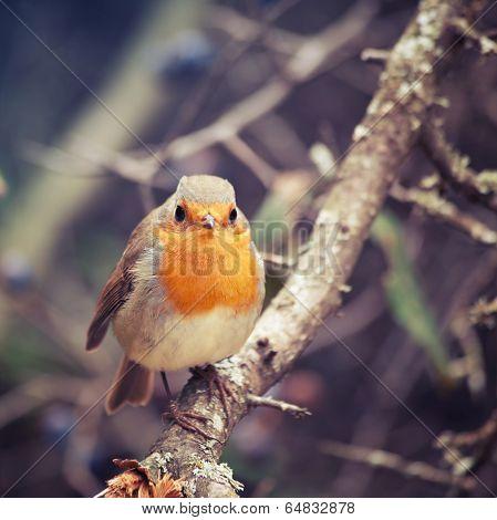 Bird European Robin