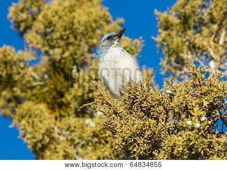 Scrub Jay Blue Bird Great Basin Region Animal Wildlife