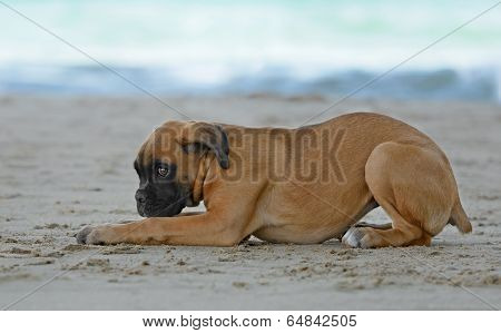 Boxer Puppy At The Beach