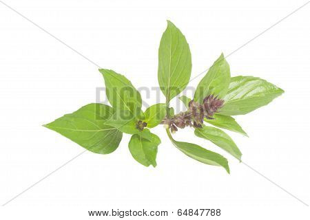 Thai Basil isolated on white background.
