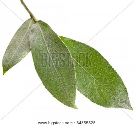 silver weeping willow branch leaves isolated on white background