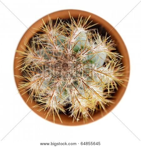 cacti cactus plant in flower pot top view isolated on white background