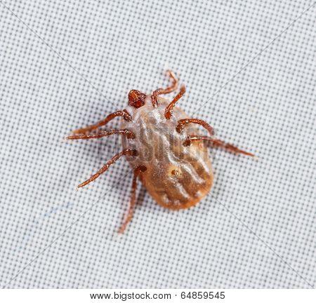 Female Rhipicephalus Sanguineus