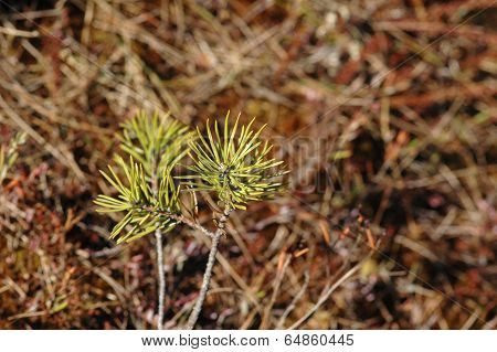 Young Fir Trees Growing In Bog