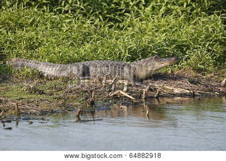 Alligator Basking At The Edge Of A Pond