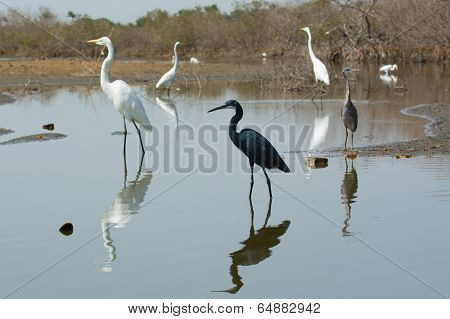A Group Of Western Reef Herons (egretta Gularis) And Great White Egrets (egretta Alba) Spread Out In