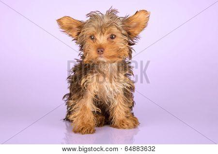 Yorkshire Terrier Puppy Standing In Studio Looking Inquisitive Pink  Background