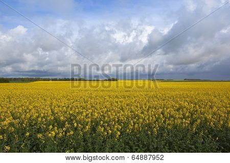 Golden Rapeseed Fields