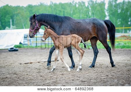 Foal with his mother-mare walks in paddock