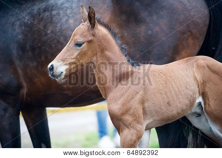 Horse and colt (2-day) walks in paddock