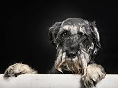 image of schnauzer  - Studio shot of purebred Schnauzer dog during dog shower in bathtub.
