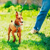 image of miniature pinscher  - Close Up Red Dog Miniature Pinscher  - JPG