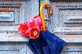 stock photo of wooden door  - Beautiful tulips in umbrella on old wooden doors - JPG