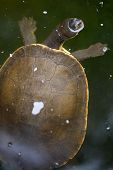 pic of terrapin turtle  - A close up shot of an Australian Murray River Turtle or Short Neck Turtle - JPG