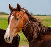 picture of horse face  - British horse portrait on background of trees on the farm closeup - JPG