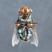 picture of blowfly  - Extreme close up dirty died chrysomya species fly isolated on gray background - 