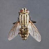 foto of blowfly  - Extreme close up dirty died sarcophaga species fly isolated on gray background  - JPG