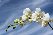 stock photo of yellow orchid  - White orchid with yellow details and blue cloudy sky - JPG