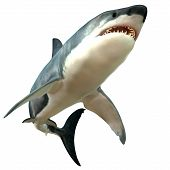 stock photo of saltwater fish  - The Great White Shark is the largest predatory fish in the sea and can grow to 26 feet and live as long as 70 years - JPG
