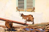 image of headstrong  - View of Tibetan goats in the little farm