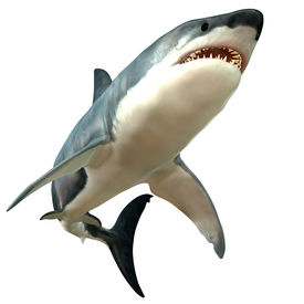pic of school fish  - The Great White Shark is the largest predatory fish in the sea and can grow to 26 feet and live as long as 70 years - JPG